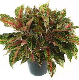 Red Aglaonema   Costa Farms on red camellia, red variegated plants, red aster, red pineapple, red narcissus, red anthurium, red zebra plant, red wandering jew, red house plants, red crotons, red gerbera, red tropical plants names, red flowering plants, red peace lily, red fittonia, red angelonia, red photinia, red anemone, red acacia, red allamanda,