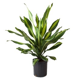 Dracaena 'Golden Heart'