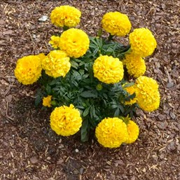 Tagetes erecta 'Proud Mari Gold'