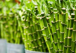5 Reasons Why I Love Lucky Bamboo