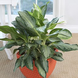 Aglaonema 'Golden Bay'