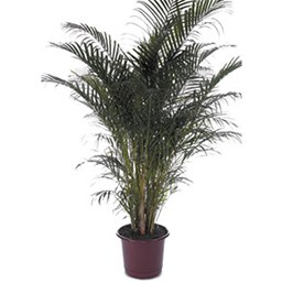 inspiration tropical house plant care. Dypsis lutescens Palm  Houseplant Costa Farms