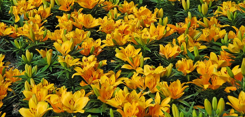 How to grow lilies: asian, oriental +more | gardener's supply.