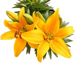 Lilium 'Tiny Bee'