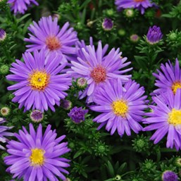 Aster 'Dragon Blue'