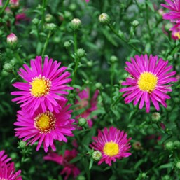 Aster 'Hazy Pink'