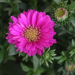Aster novi-belgii Magic Pink