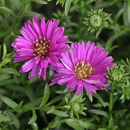 Aster novi-belgii Magic Purple