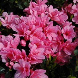 Rhododendron 'Coral Bells'