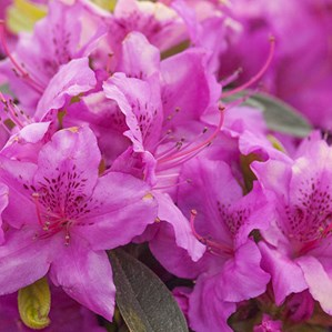 Plant library costa farms rhododendron mightylinksfo