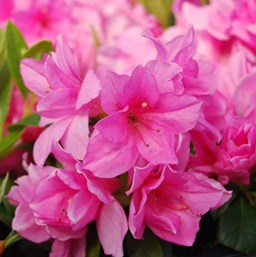 Rhododendron 'Pink Ruffle'