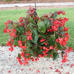 Begonia 'Dragon Wing Red'