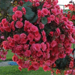 Begonia 'Solenia Dusty Rose'