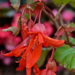 Begonia 'Sun Cities Santa Cruz Sunset'