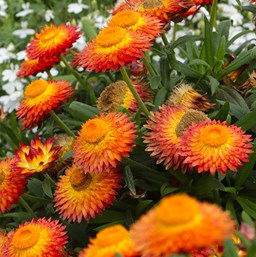 Strawflower costa farms varieties our favorites mightylinksfo