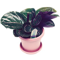 Rose-painted Calathea