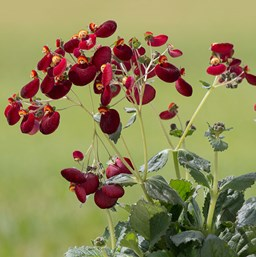 Calceolaria 'Calynopsis Dark Red'