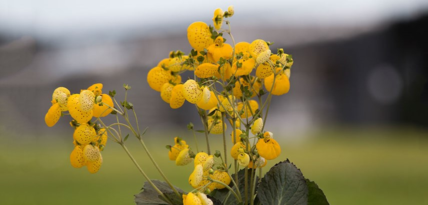 Calceolaria spp.