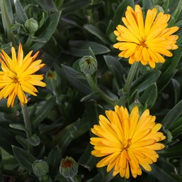 Calendula 'Winter Creepers Peach Polar'