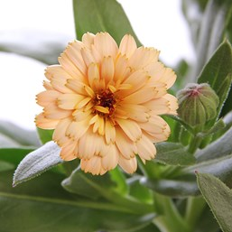 Calendula 'Winter Creepers Blonde & Brisk'