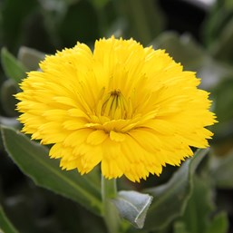 Calendula 'Winter Creepers Sun Flurries'
