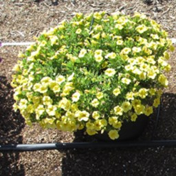 Calibrachoa 'Calipetite Yellow'