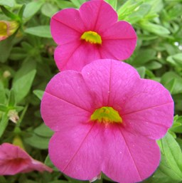 Calibrachoa 'Kabloom Deep Pink'