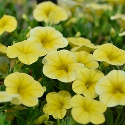 Calibrachoa 'Noa Yellow'