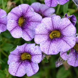 Calibrachoa 'Colibri Purple Lace'
