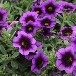 Calibrachoa 'Superbells Grape Punch'