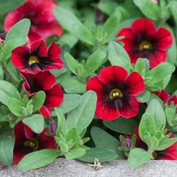 Calibrachoa 'Superbells Pomegranate Punch'