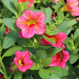 Calibrachoa 'Superbells Tequila Sunrise'