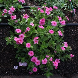 Catharanthus 'Cora Cascade Strawberry'