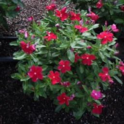 Catharanthus 'Cora Red'