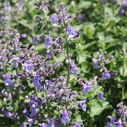Nepeta racemosa 'Walker's Low'