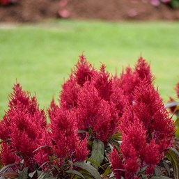 Celosia argentea plumosa 'Dragon's Breath'