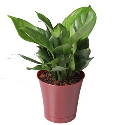 Aglaonema Queen Juliana