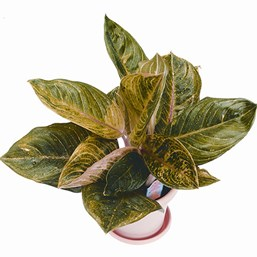 Aglaonema Red Gold
