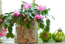 5 Reasons Why I Love Christmas Cactus