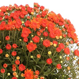 Chrysanthemum Aubrey Orange