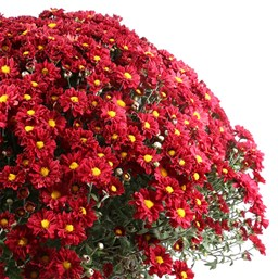 Chrysanthemum Bonnie Red