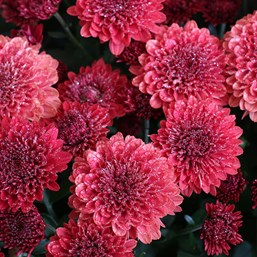 Chrysanthemum Jolly Cheryl Red