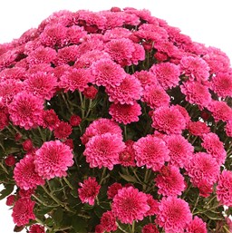 Chrysanthemum Regal Cheryl Purple