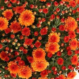 Chrysanthemum Emberglow Orange