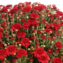 Chrysanthemum Eternal Red