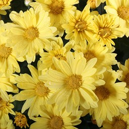 Chrysanthemum Hankie Yellow