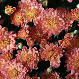 Chrysanthemum Nutty Fiona Bronze