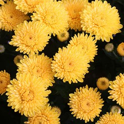 Chrysanthemum Sparkling Cheryl Yellow