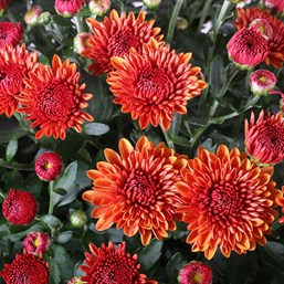 Chrysanthemum Spicy Cheryl Orange