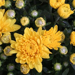 Chrysanthemum Sunbeam Yellow